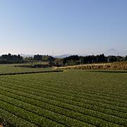 一里山のお茶